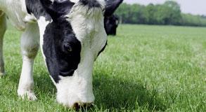 cow grazine