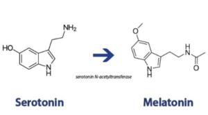 serotonin and melatonin